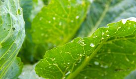 Green Cabbage Close Up. Royalty Free Stock Photo