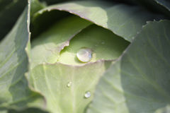 Green cabbage with drops Royalty Free Stock Images