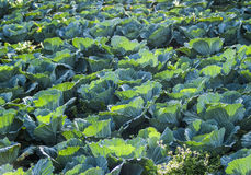 Green cabbage farm Stock Photos