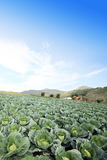 The green cabbage field Stock Photos