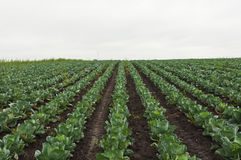 Green cabbage field Royalty Free Stock Photos