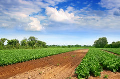 Green cabbage field. End blue sky Royalty Free Stock Images