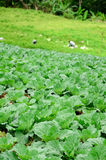 Green cabbage field Royalty Free Stock Images