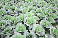 Green cabbage field Stock Image