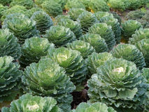 Green cabbage. In the garden Royalty Free Stock Photography