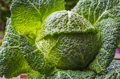 Green cabbage in garden after rain Stock Image