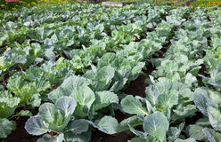 Сabbage growing in the field Stock Photos