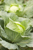 Green cabbage growing in garden Stock Images