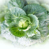 Green cabbage. High fiber vegetable Royalty Free Stock Photos