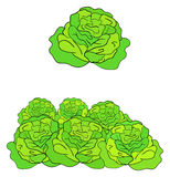 Green cabbage illustration Stock Photography