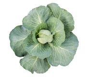 The green cabbage. Isolated on a white background Stock Images