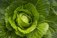 Green cabbage with large leaves in the garden. Large Royalty Free Stock Photo