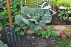 Green cabbage in patch Royalty Free Stock Images