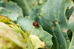 Green cabbage with pests in a garden Royalty Free Stock Photo