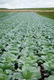Green cabbage plant field outdoor in summer Stock Image
