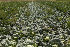Green cabbage plant field outdoor in summer Royalty Free Stock Photo