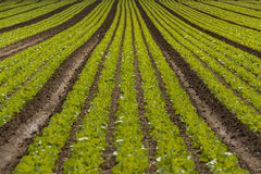 Green cabbage plant field outdoor in summer Royalty Free Stock Photos