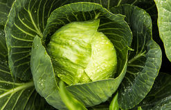 Green Cabbage with rain drops Royalty Free Stock Image