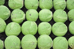 Green cabbage. Several green cabbages arranged next to each other, forming a green pattern Royalty Free Stock Photography