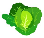 Green Cabbage Vector Illustration Isolated White. Green cabbage vector illustration isolated on white background. Healthy organic vegetarian food in flat design royalty free illustration