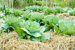 Green cabbage in the vegetable garden Stock Photos