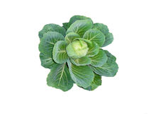 Green cabbage. On a white background royalty free stock image