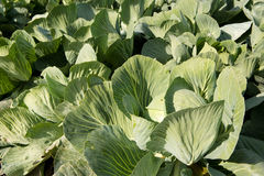 Green cabbages Stock Photography