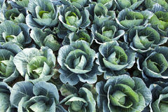 Green Cabbages Background Royalty Free Stock Photos