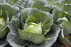 Green Cabbages Details Stock Image