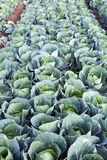 Green Cabbages on a Farm Stock Photo