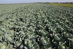 green cabbages in a very fertile field with sandy soil stock image