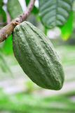 Green cacao pod royalty free stock image