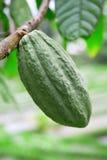 Green cacao pod Royalty Free Stock Image