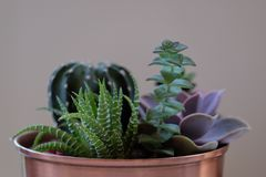 Green Cacti on Brown Metal Plant Pot Royalty Free Stock Image