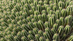 Green cacti Stock Image