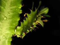 Green cactus Royalty Free Stock Image