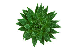 Green cactus from above Royalty Free Stock Image