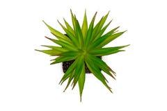 Green cactus Royalty Free Stock Image