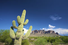 A green cactus against a blue sky. In Arizona stock image