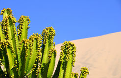 Green Cactus against dessert  oasis Royalty Free Stock Photography