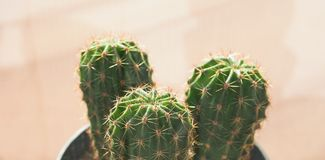Green cactus plant. Green cactus (Angiosperms Eudicots Caryophyllales Cactaceae) plant royalty free stock photos