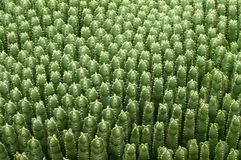 Green cactus background. Background of green Peruvianus cactus tropical plants stock photography