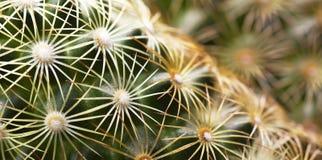 Green cactus banner Stock Image