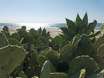 Green Cactus Beach Ocean 4k. Green cactus and ocean background Royalty Free Stock Image