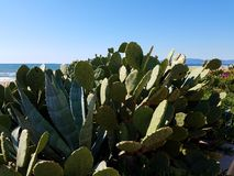 Green cactus Beach Ocean. Red Rose bush over grass and ocean background Royalty Free Stock Image