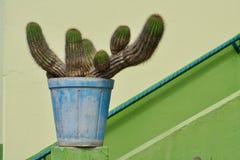 Green cactus in a blue plant pot Stock Photos