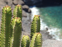 Green cactus with a blurred ocean in the background Royalty Free Stock Photo