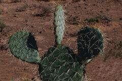 Green cactus bristling with sharp white thorns Stock Image