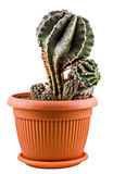Green cactus in a brown flower pot, close up, white background Royalty Free Stock Images