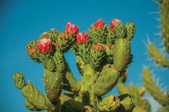 Green cactus bush with colorful flowers. Close-up of vivid green cactus bush with colorful flowers under blue sky of sunset near Elvas. A gracious star-shaped royalty free stock photography